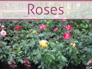 roses_lincolnshire